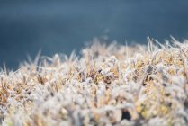 Closeup view of white hoarfrost on grass — Stock Photo
