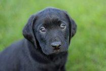 Portrait de chiot Labrador noir — Photo de stock