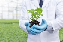 Scientist in greenhouse holding herbal plant — Stock Photo
