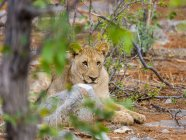 Namibie, Okaukuejo, Etosha Nationalpark, jeune lion couché parmi les arbres — Photo de stock