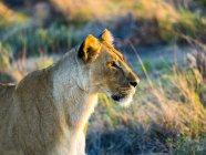 Намибия, Outjo, дикий Reservat Онгава, женщина Лев морда сбоку в вечерний свет — стоковое фото