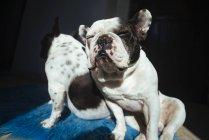 Французский бульдог, прислонившийся к собаке — стоковое фото