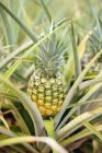 Close-up of ripe pineapple growing in grass — Stock Photo