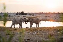 Elefanti di Namibia, Parco nazionale di Etosha, ad un waterhole al tramonto — Foto stock