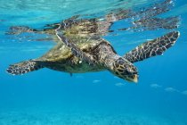 Closeup of Hawksbill sea turtle in blue ocean waer — Stock Photo
