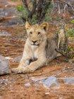 Намібія, Okaukuejo, Nationalpark Етоша, молодими левиці лежав на землі — стокове фото