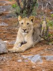 Namibia, Okaukuejo, Etosha Nationalpark, giovane leonessa sdraiato sul terreno — Foto stock