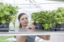Woman in greenhouse placing herbal plants on shelf — Stock Photo