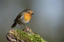 European robin on a branch closeup view — Stock Photo
