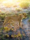 Outjo, Ongava Wild Reservat, Namibia, hombre León, vista lateral en sol brillante - foto de stock