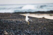 Spain, Tenerife, seagulll on Las Americas beach — Stock Photo