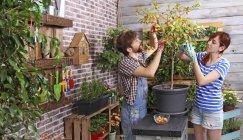 Пара збір kumquats в міському саду на терасі — стокове фото