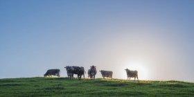 Deutschland, Allgäu, sieben braune Rinder stehen auf der Weide im Gegenlicht — Stockfoto
