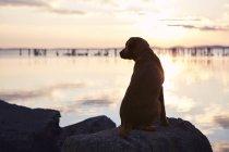 Лабрадор ретривер на Spyckerscher море на закате, Германия — стоковое фото