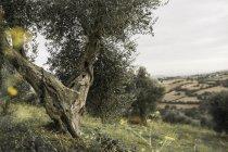 Италия, Тоскана, Маремма, оливковых деревьев на холме — стоковое фото
