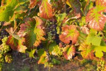 Nearly ripe red grapes on vine — Stock Photo