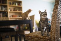 Tabby cat standing on wicker chair and looking up — Stock Photo