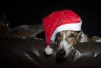 Грейхаунд в рождественской шляпе лежит на коже — стоковое фото