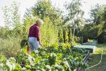 Senior mujer jardinería en huerto - foto de stock