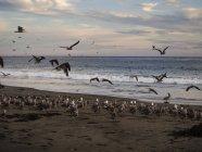 USA, California, Pismo beach, flock of sea gulls on sandy beach at sunset — Stock Photo