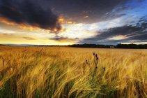 Campo di orzo e cardo al tramonto, East Lothian, Scozia — Foto stock
