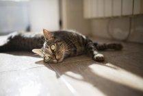 Таббі кішка лежить на підлозі кухні — стокове фото