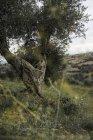 Италия, Тоскана, Маремма, оливковое дерево на холме — стоковое фото