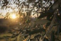 Італія, Тоскана, Маремма, оливкове дерево на заході сонця — стокове фото
