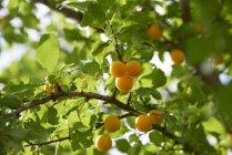 Close-up de maduras Greengages crescendo na árvore — Fotografia de Stock