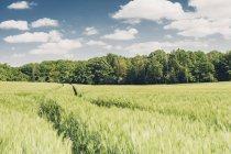 Alemania, Sajonia, campo de cebada y los árboles durante el día - foto de stock