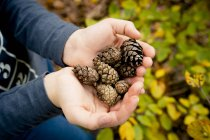 Cropped view of female hands holding pine cones — Stock Photo