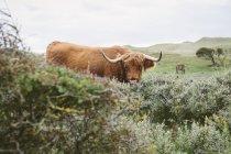 Нідерланди, Берген aan Zee, буйвол спиною чагарників, кінь випасу у фоновому режимі — стокове фото
