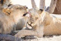 Левиця Намібії, Національний парк Етоша, облизуючи ще лежачи — стокове фото