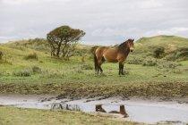 Horse standing in dunes, Bergen aan Zee, Netherlands — Fotografia de Stock