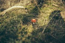 Fly agaric on forest green moss in sunlight — Stock Photo