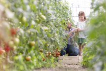 Father and daughter harvesting tomatoes in greenhouse — Stock Photo