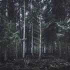 Germany, Altenahr, coniferous forest — Stock Photo