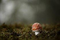 Agaric de mouche vue de plus en plus dans l'arrêt moss vert forêt — Photo de stock