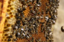 Bees sitting on honeycombs — Stock Photo