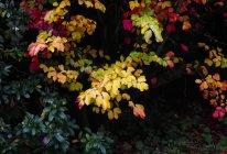 Autumn colours of a bush, full frame — Stock Photo