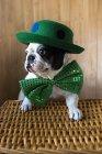 Портрет французского бульдога в зеленой шляпе и галстуке-бабочке — стоковое фото