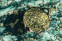 Top view of basket of harvested olives — Stock Photo