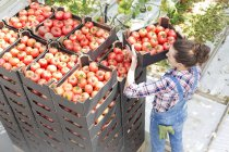 Woman stacking boxes with tomatoes in greenhouse — Stock Photo