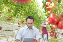 Man using digital tablet in greenhouse with tomatoes — Stock Photo