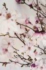 Galhos de flor rosa Magnólia closeup tiro — Fotografia de Stock