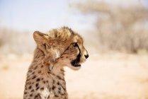 Крупним планом портрет Гепард дитинча в денний час, Намібія — стокове фото
