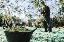 Cesto di olive raccolte — Foto stock