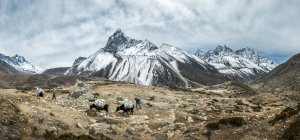Nepal, Khumbu, Everest region, Ama Dablam and yaks on ground during daytime — Stock Photo