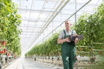 Man in greenhouse carrying box with tomatoes — Stock Photo