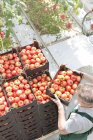 Man stacking boxes with tomatoes in greenhouse — Stock Photo